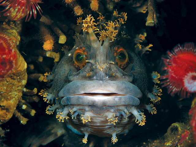 UM-Rosenstiel-School-of-Marine-and-Atmospheric-Science-best-overall-photo,-Japanese-War-Bonnet-by-Andrey-Shpatak